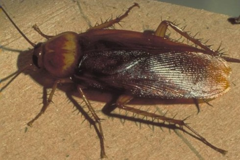 cucaracha_americana